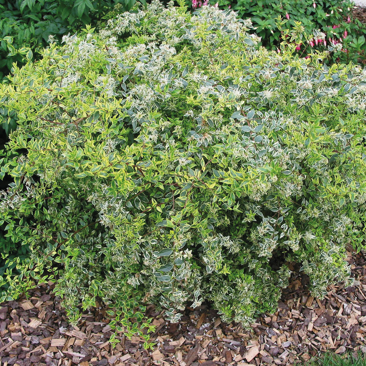 Abelia - x grandiflora -