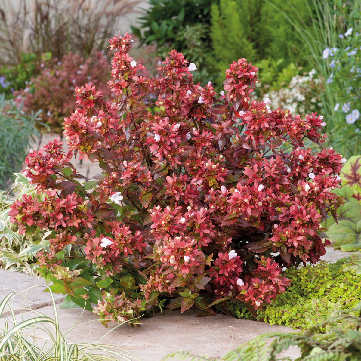 Abelia - grandiflora - Mystic Daydream - Opstal40