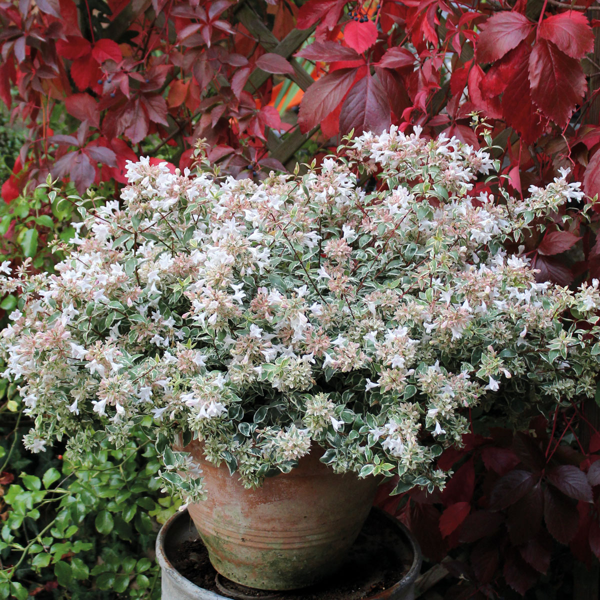 Abelia - grandiflora - Steredenn - Levabes