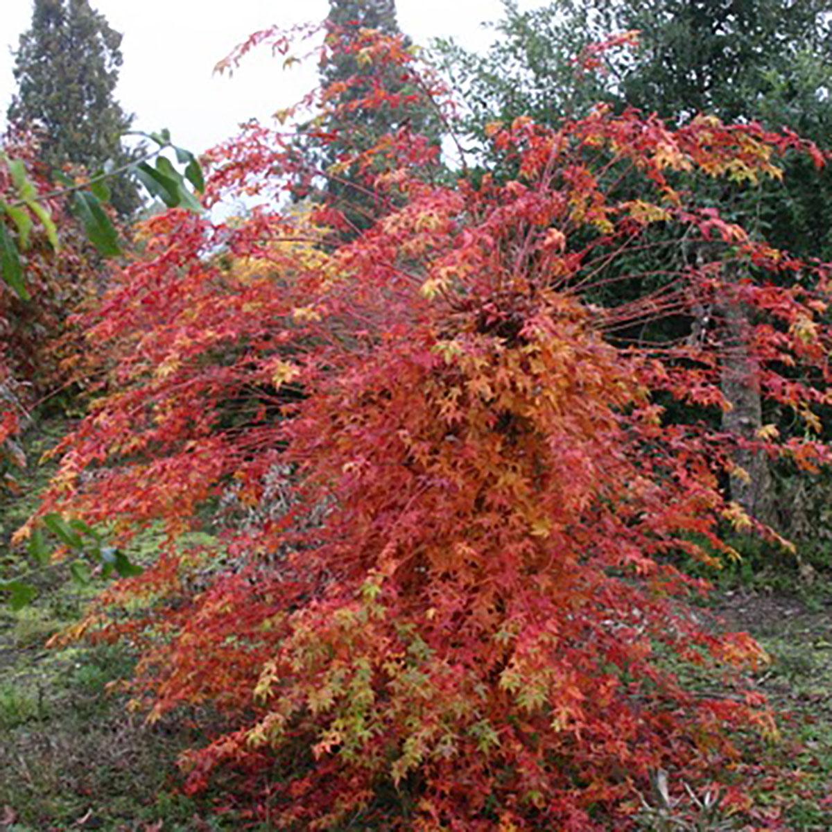 Acer - palmatum -