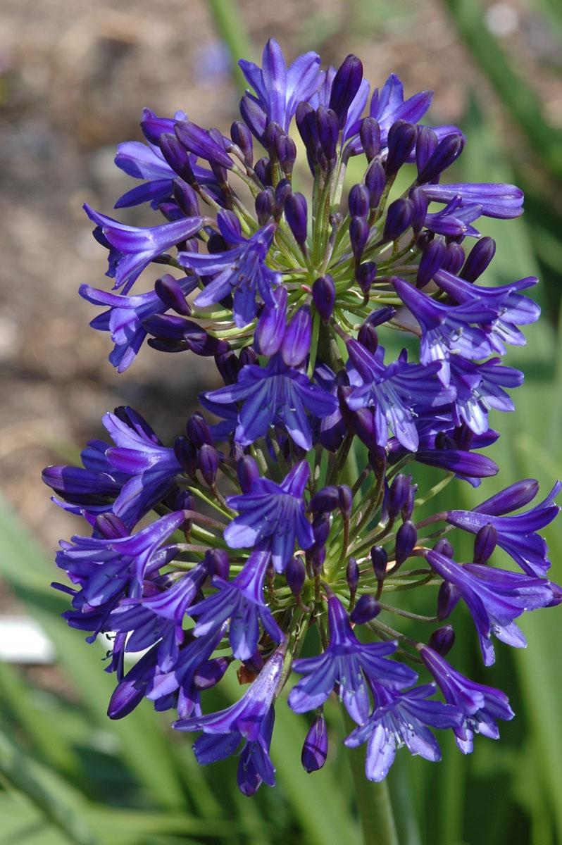 Agapanthus - hybride -