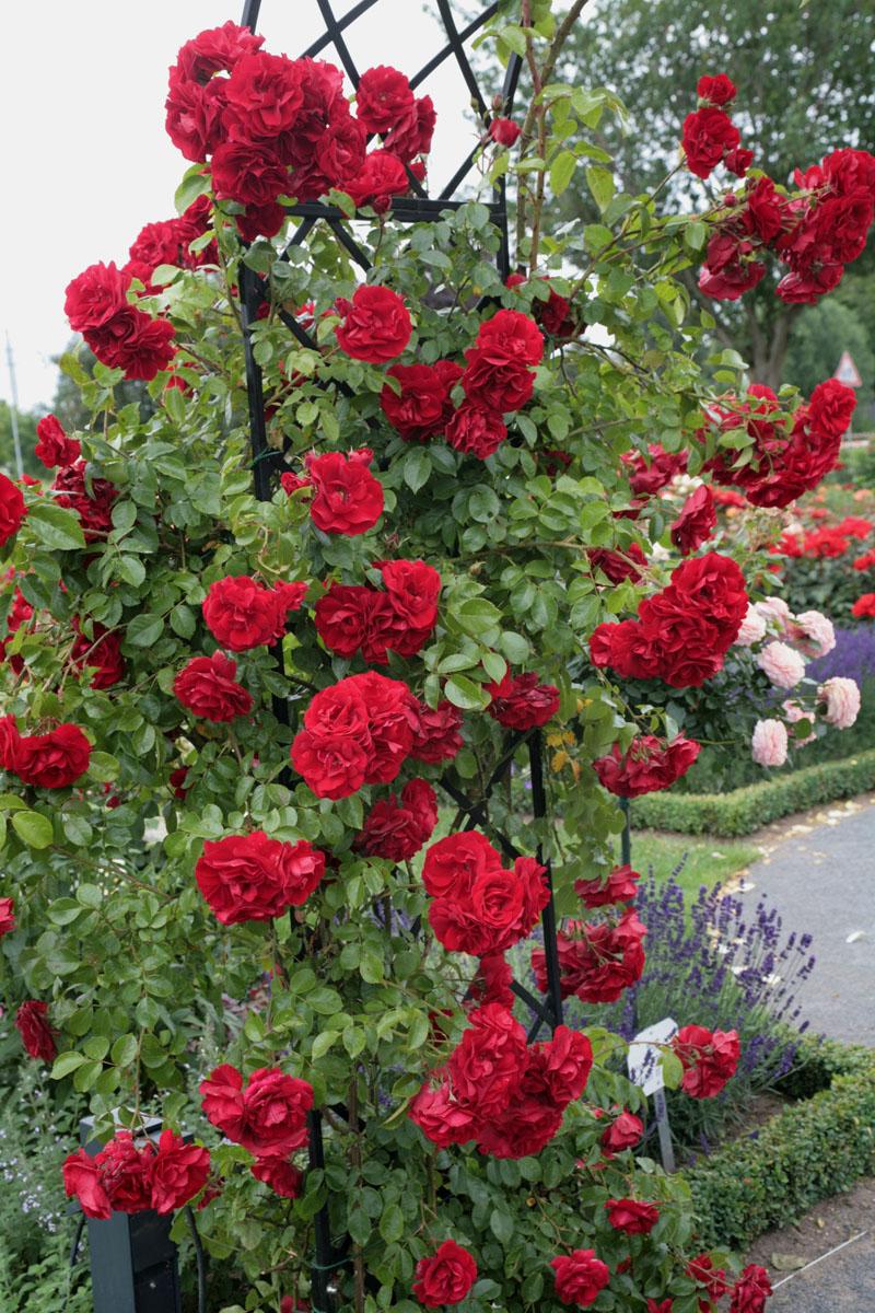 la collection globe planter rosier super conquerant. Black Bedroom Furniture Sets. Home Design Ideas