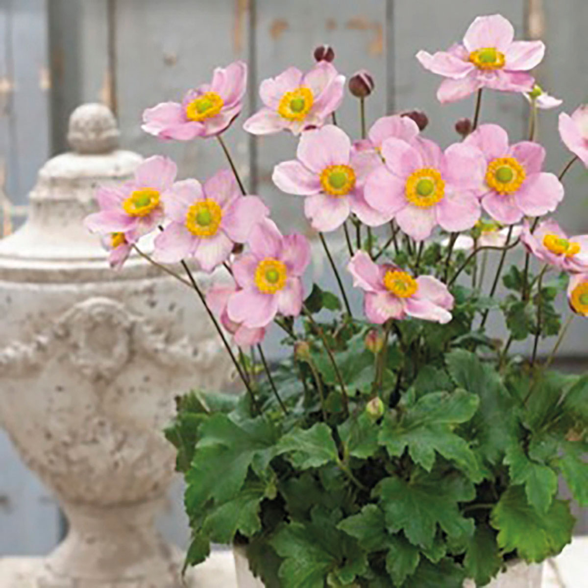 Anemone - hybride - Pink Cloud