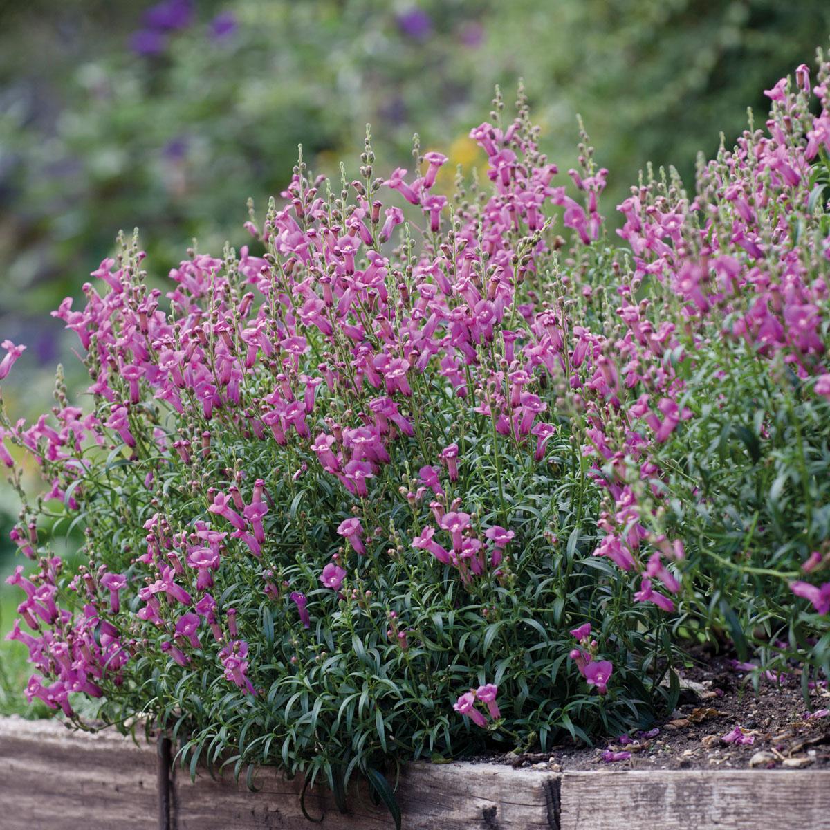 Antirrhinum - majus - Pretty in Pink