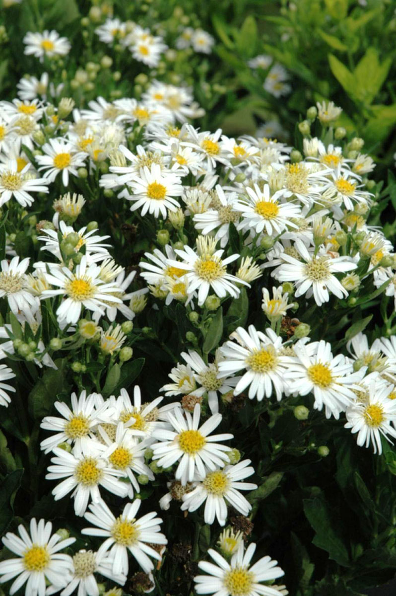Aster - ageratoides -