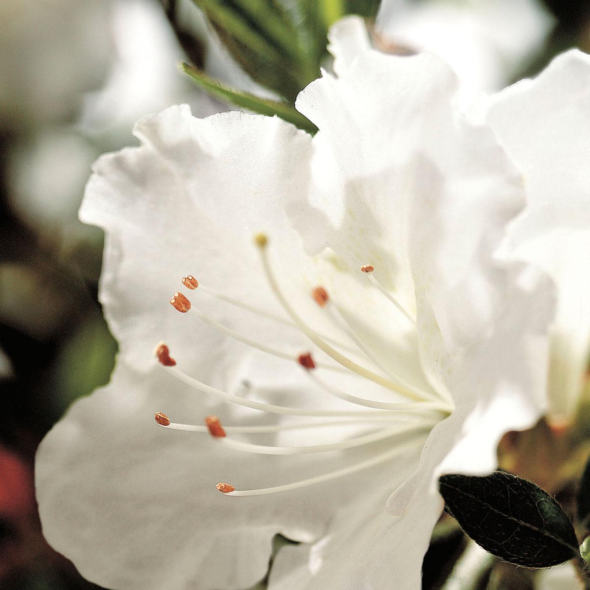 Azalea - hybride - Ivory - Roblev