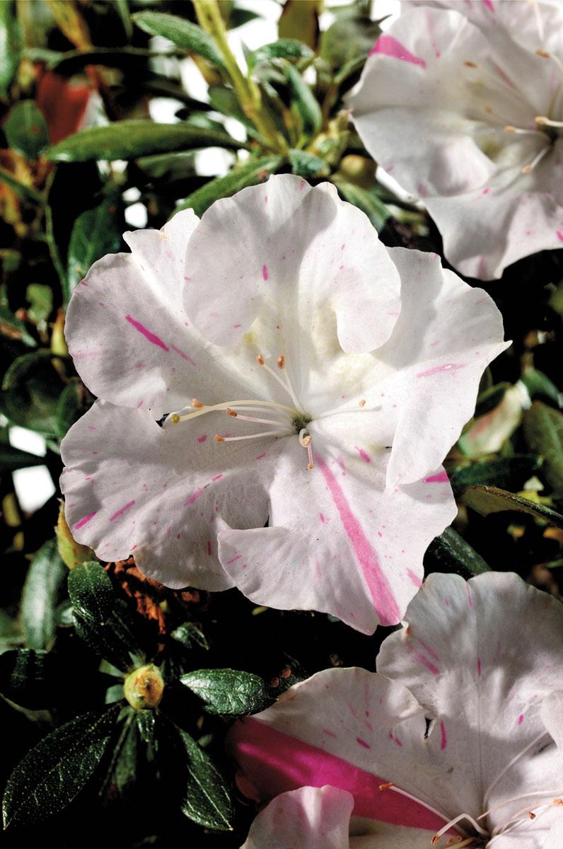 Azalea - japonica -