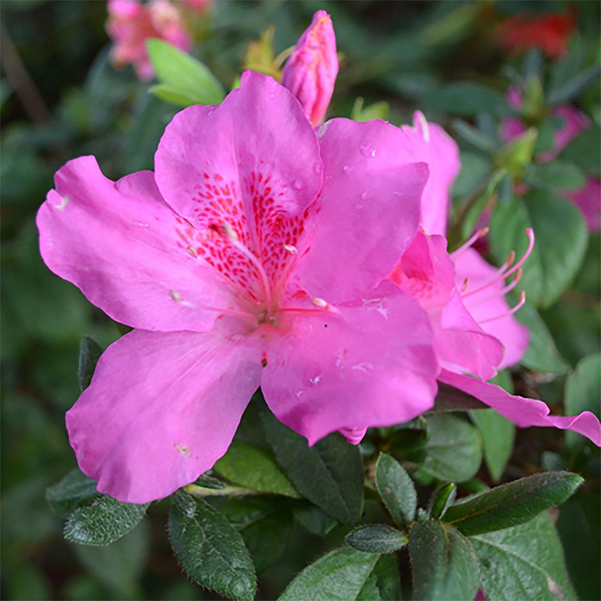 Azalea - japonica - Lavender Lady - Cov