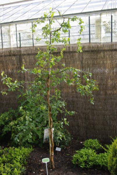 la collection globe planter bouleau tortueux spider alley