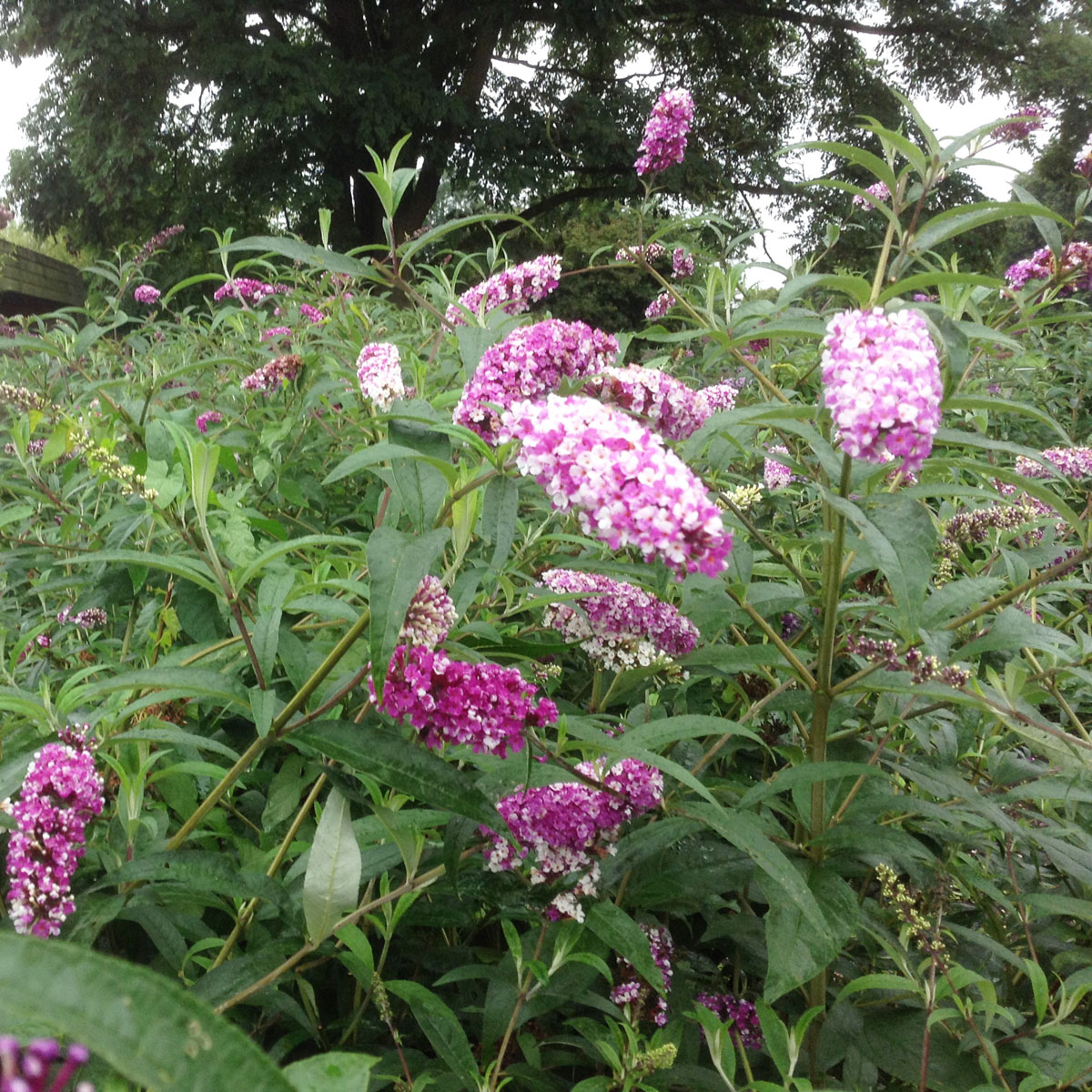 Buddleja    - hybride - Berries and Cream - Pmoore14