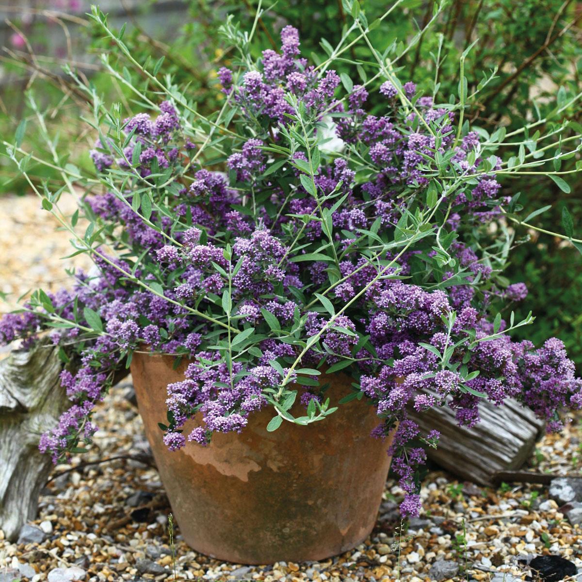 Buddleja - x alternifolia -