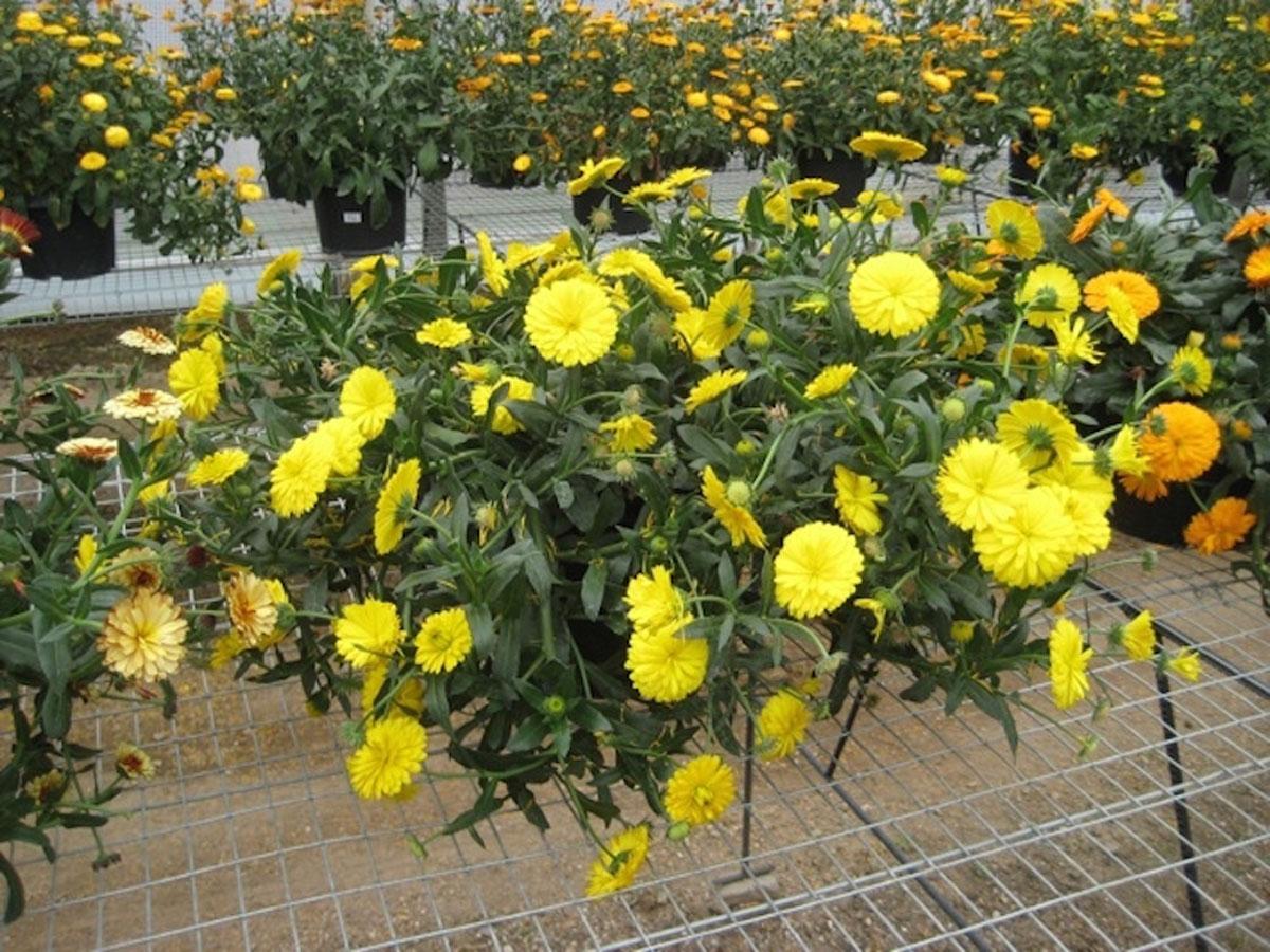 Calendula - hybride -