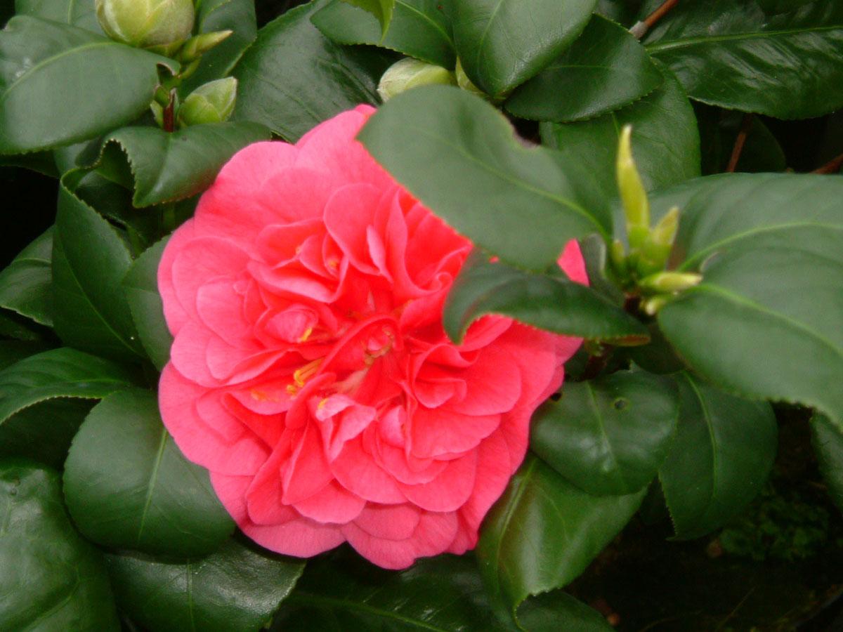 Camellia - japonica -