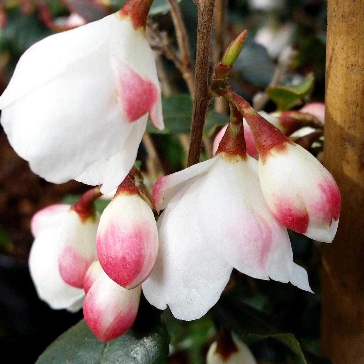 Camellia - rosthorniana - Cupido - Elina