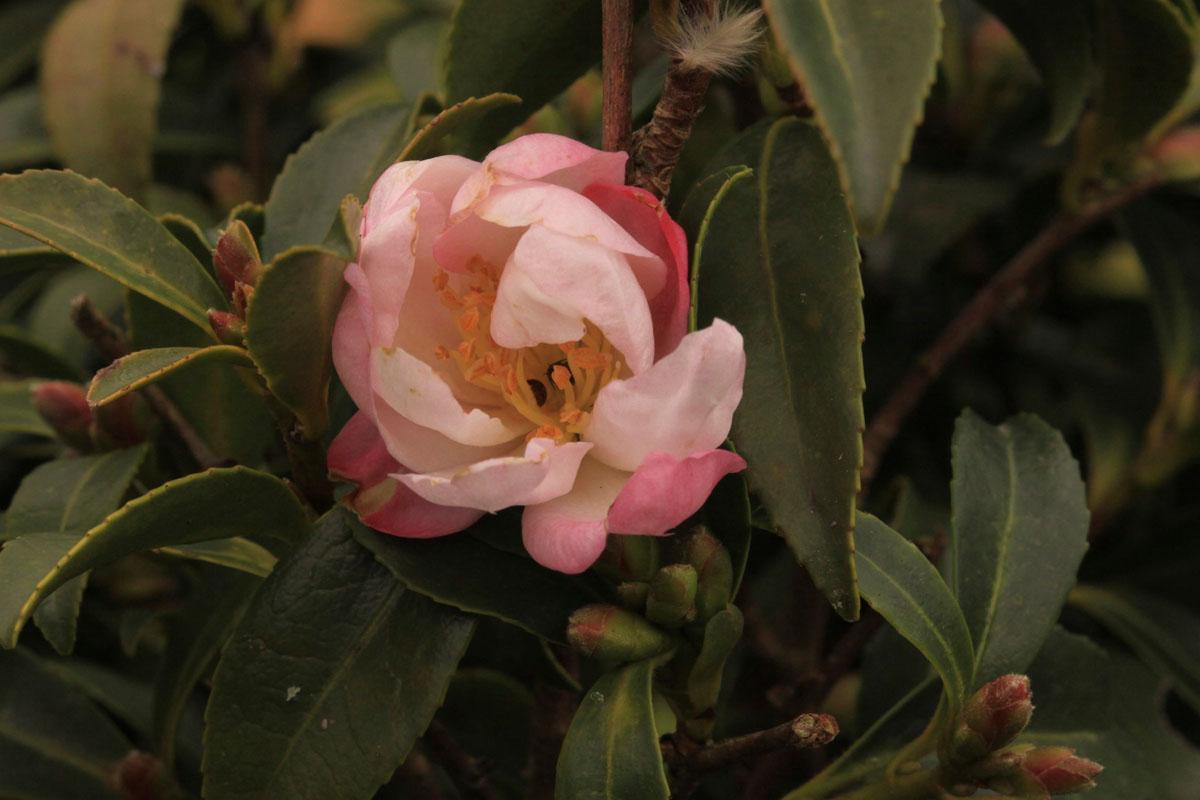 Nain De Jardin Miniature ~ Camellia – PARADISE PLANT – Miniature Baby Jane 'Cov'