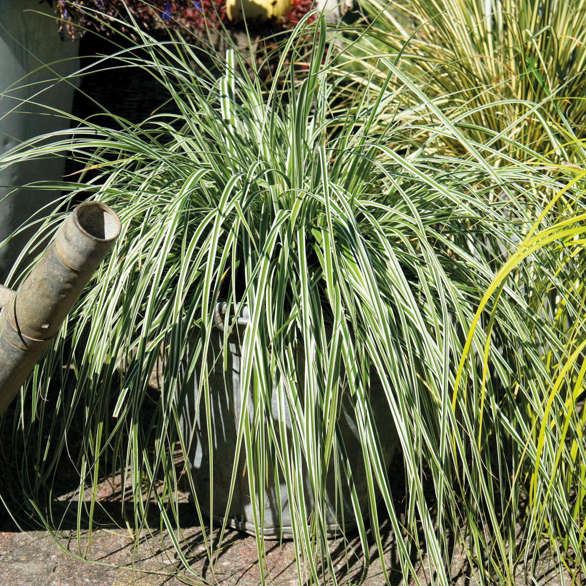 Carex - oshimensis - Everest - Fiwhite