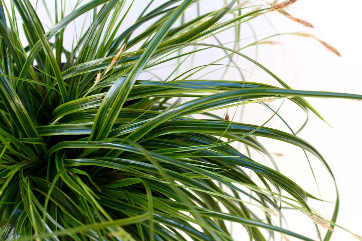 Carex - EVERCOLOR® - Everlime