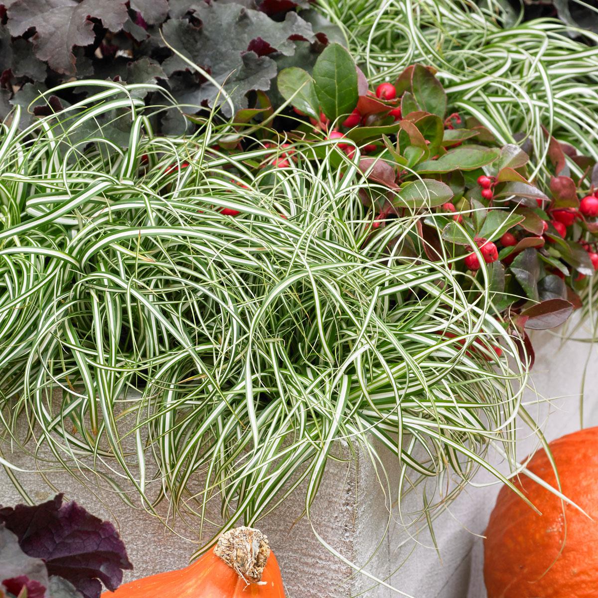 Carex - oshimensis -