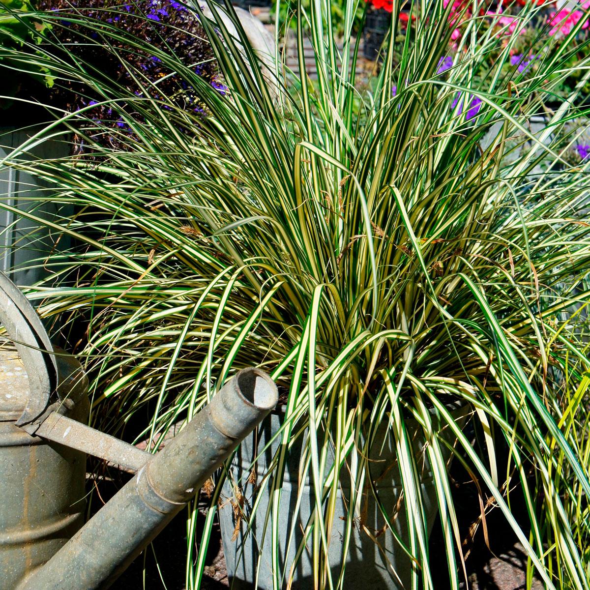 Carex - oshimensis - Everoro - cov