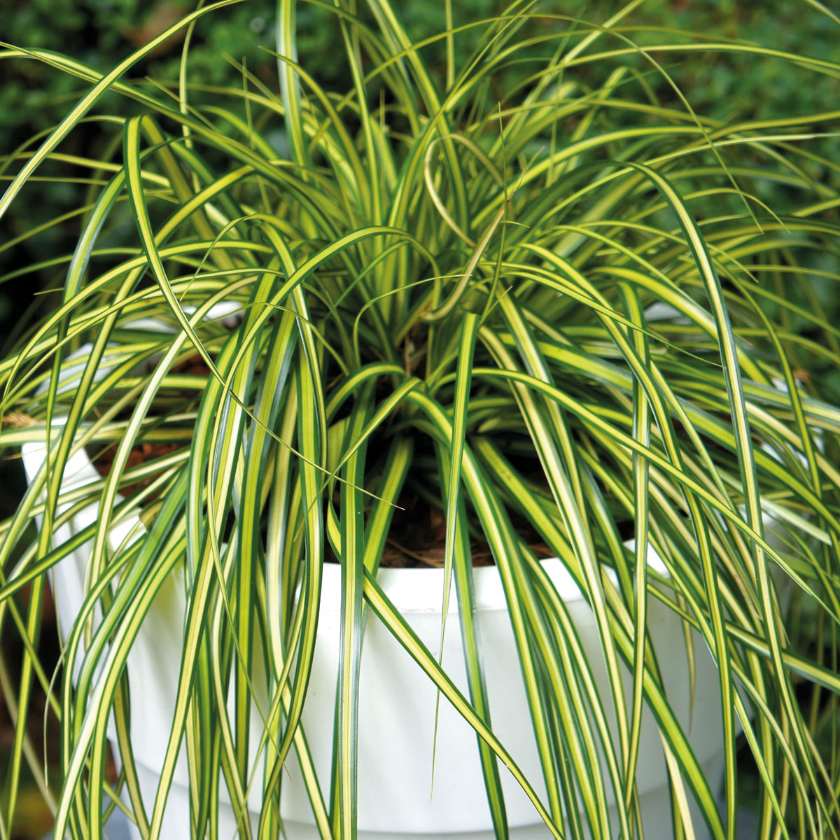 Carex - EVERCOLOR® - Eversheen