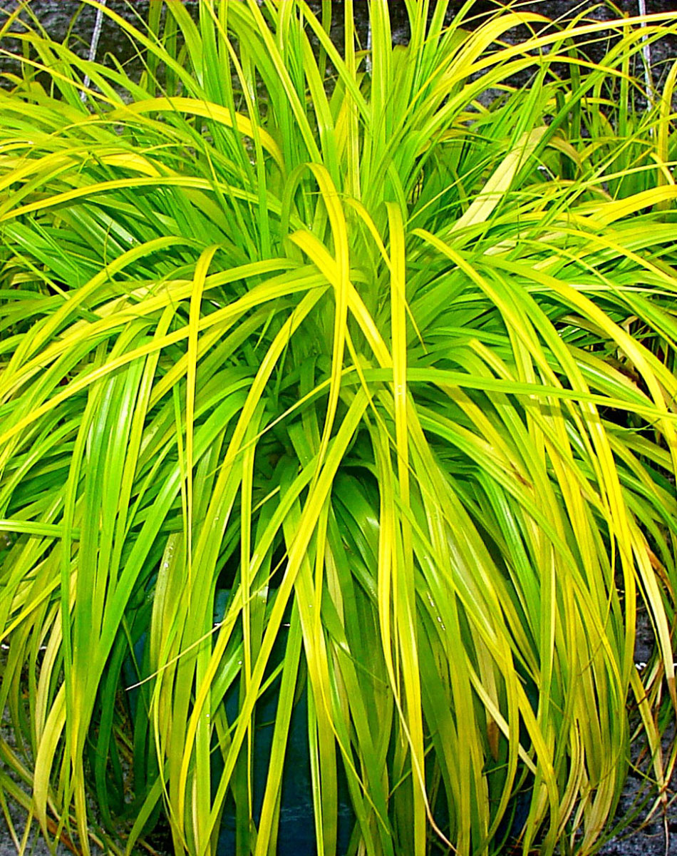 Carex - EVERCOLOR® - Everillo