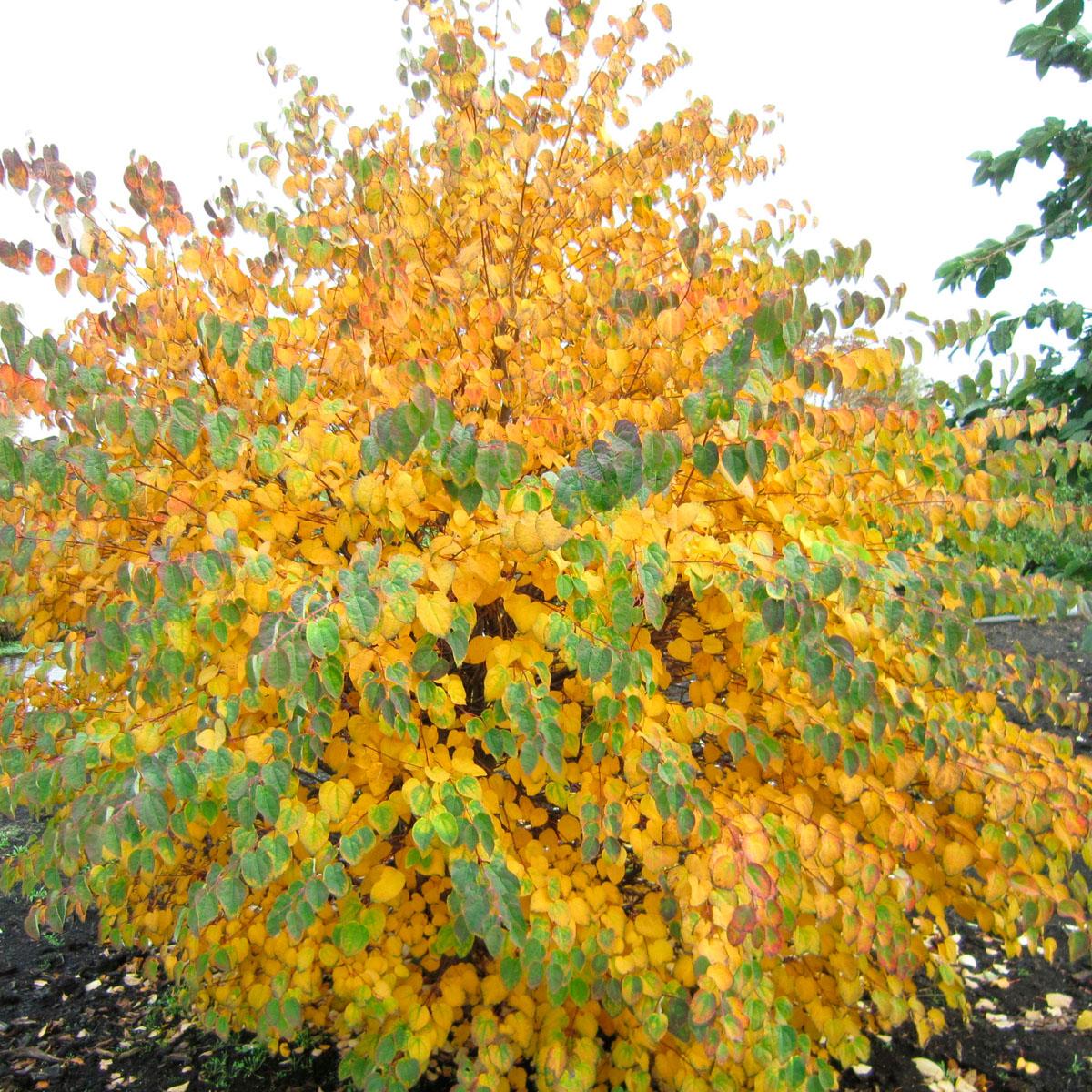Cercidiphyllum - japonicum -