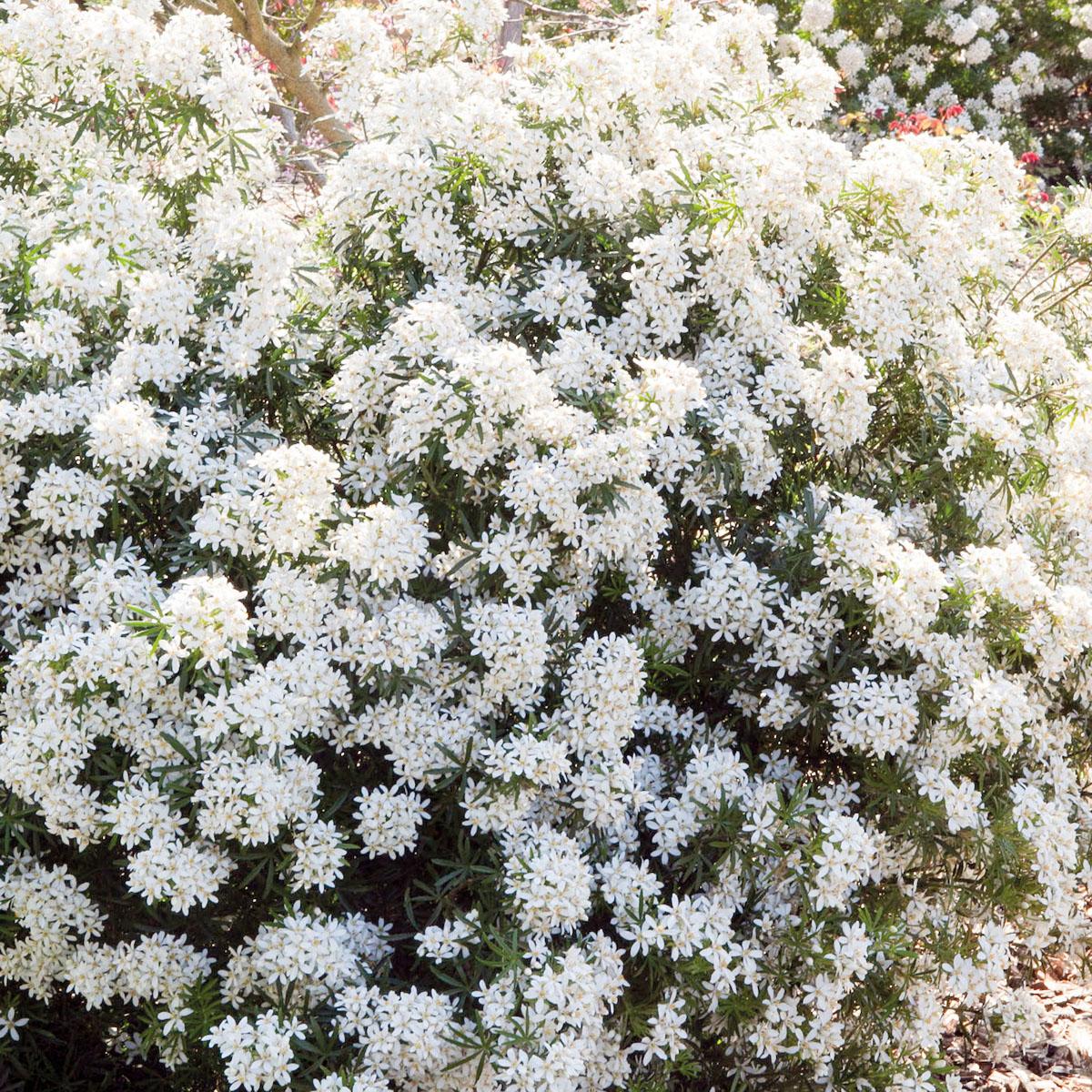 Choisya - hybride - White Dazzler - Londaz