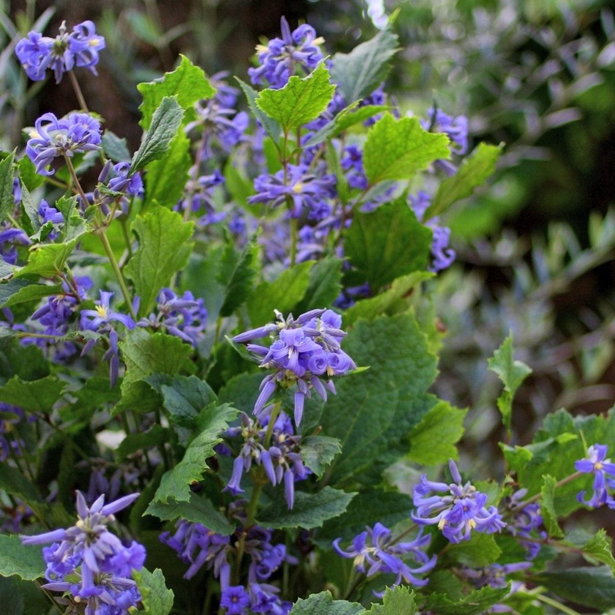 Clematis - heracleifolia -