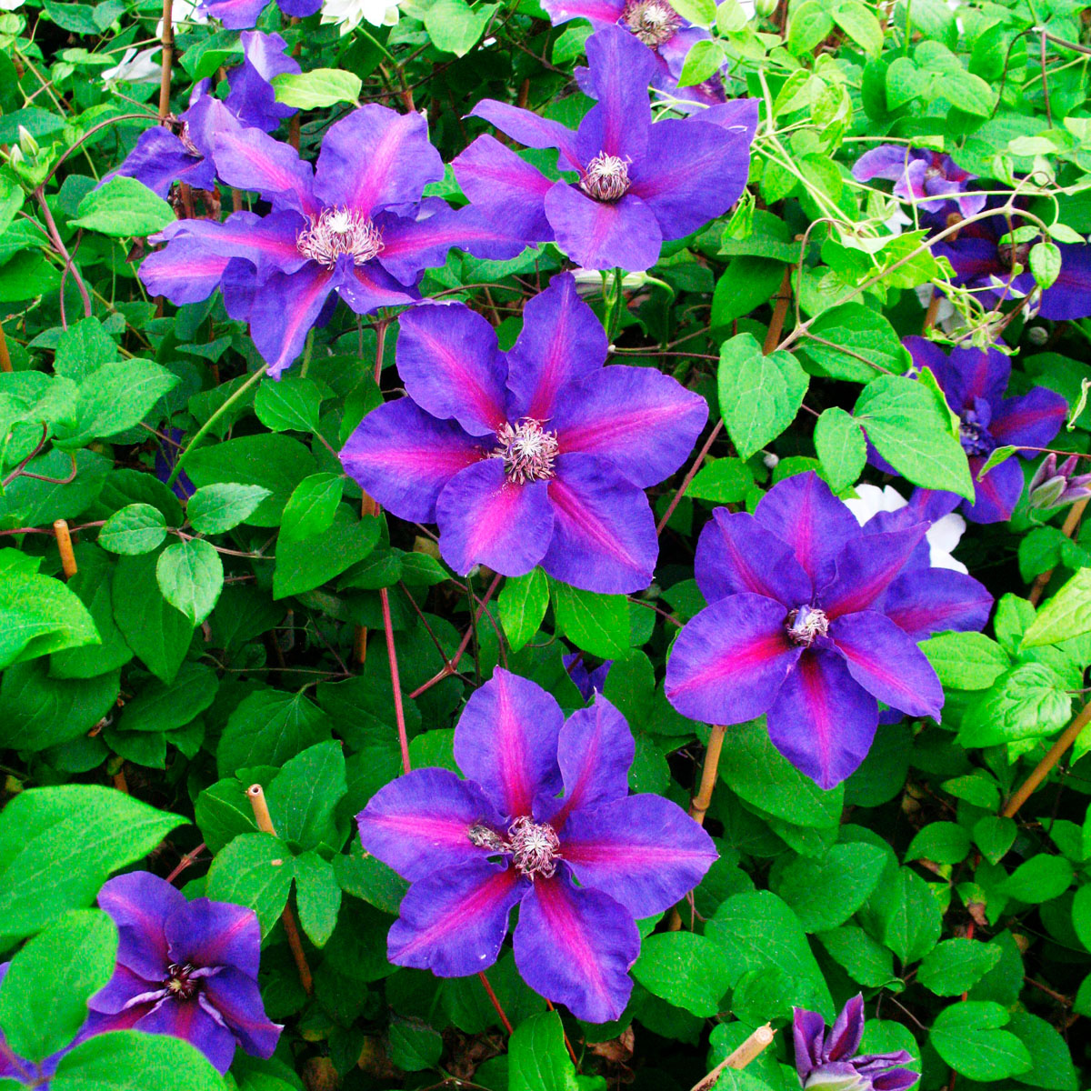 Clematis - hybride -