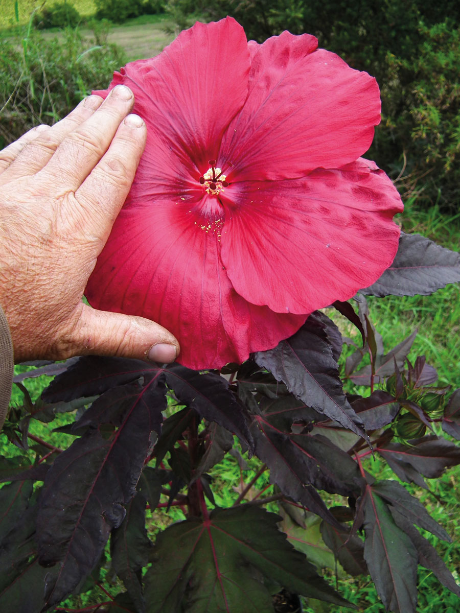 Hibiscus - CARROUSEL® - Geant Red