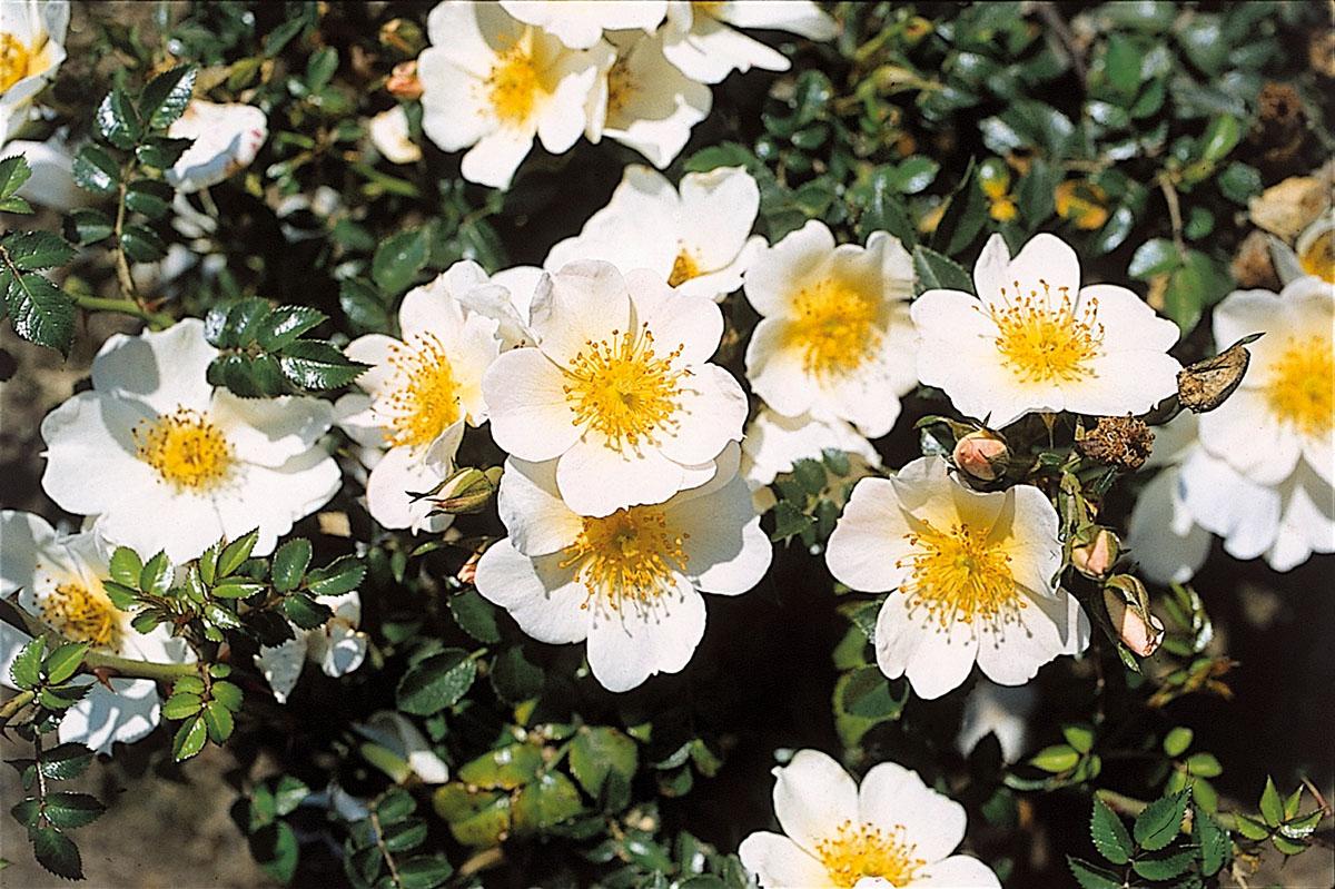 Rosa - hybride - Rose du Soleil - Korlitare