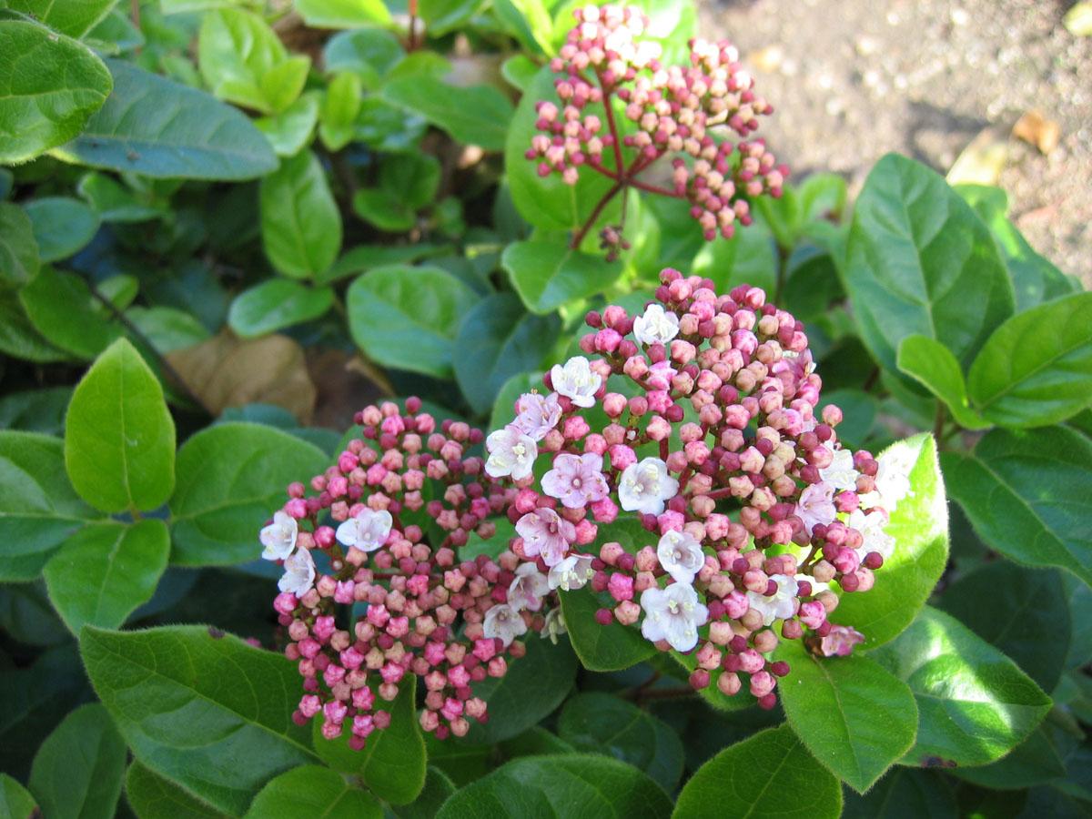 Viburnum - tinus -