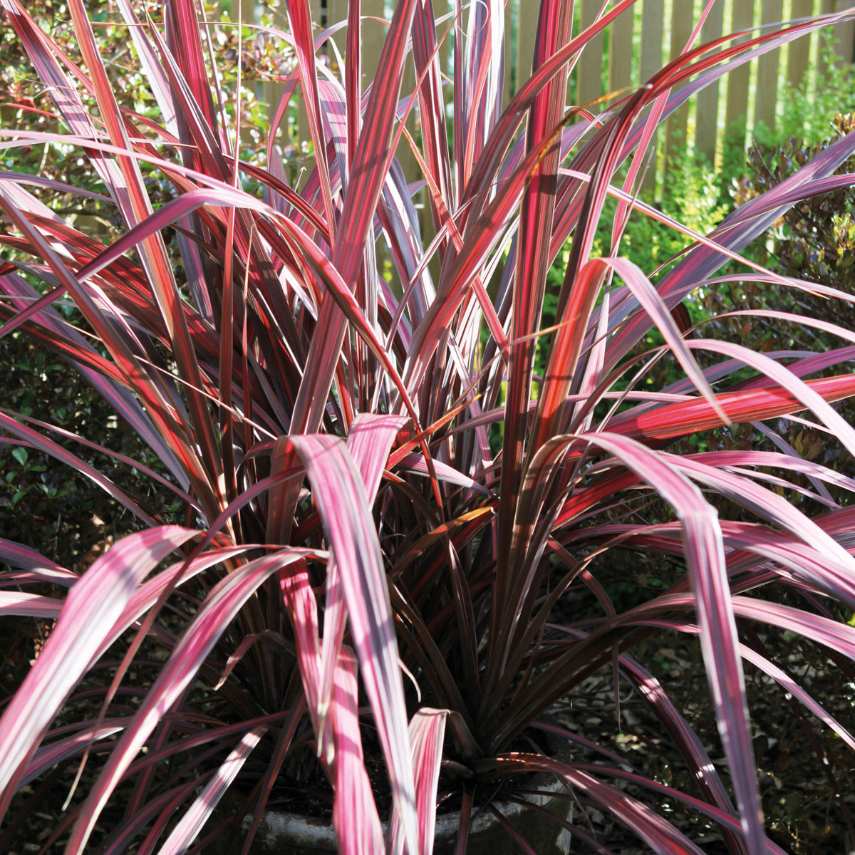 Cordyline - ELECTRIC - Electric Pink