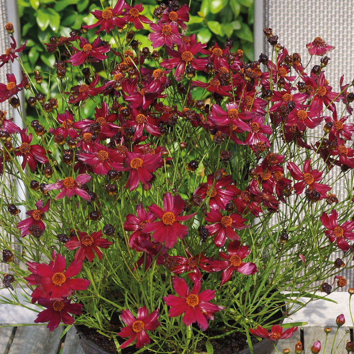 Coreopsis - rosea -