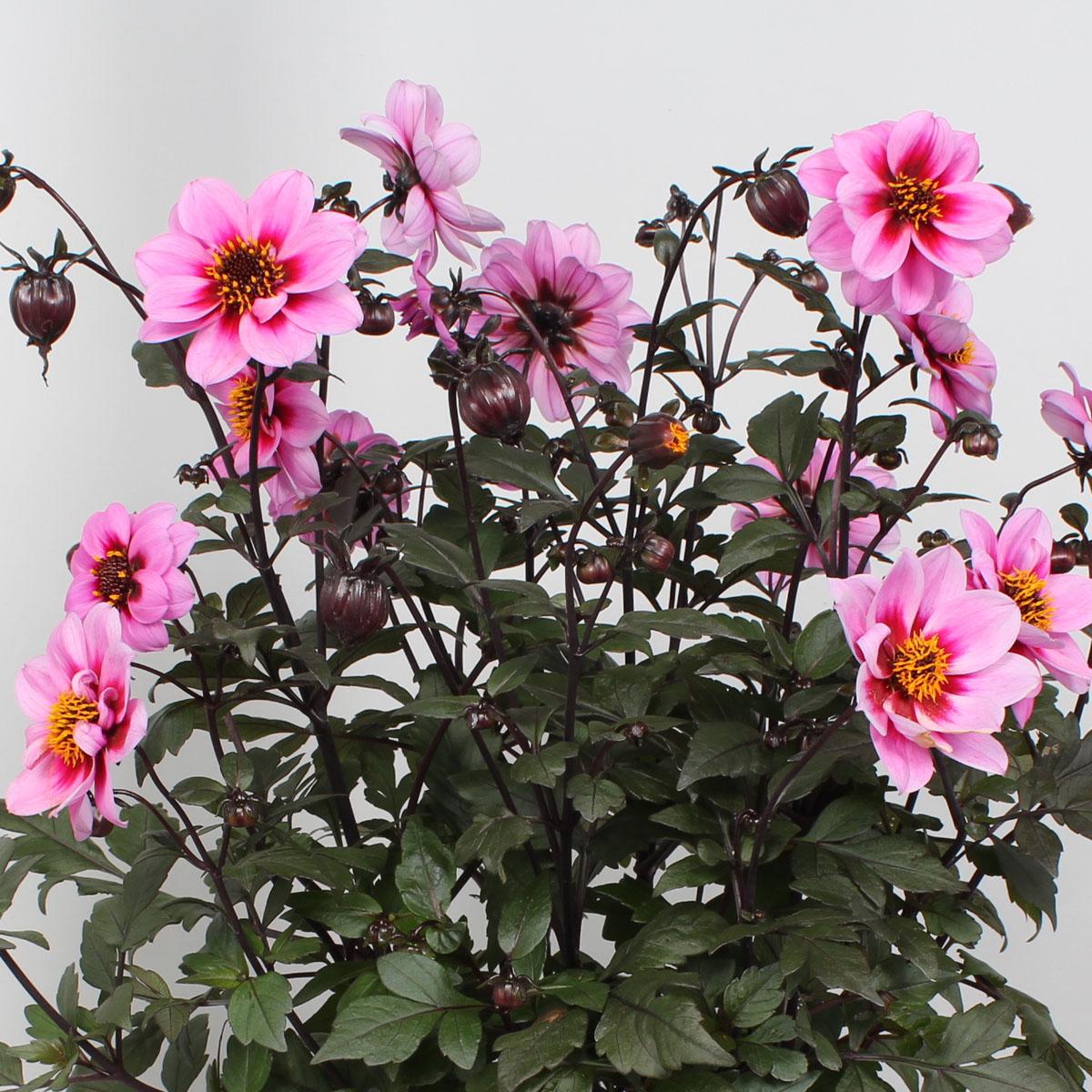 Dahlia - hybride -