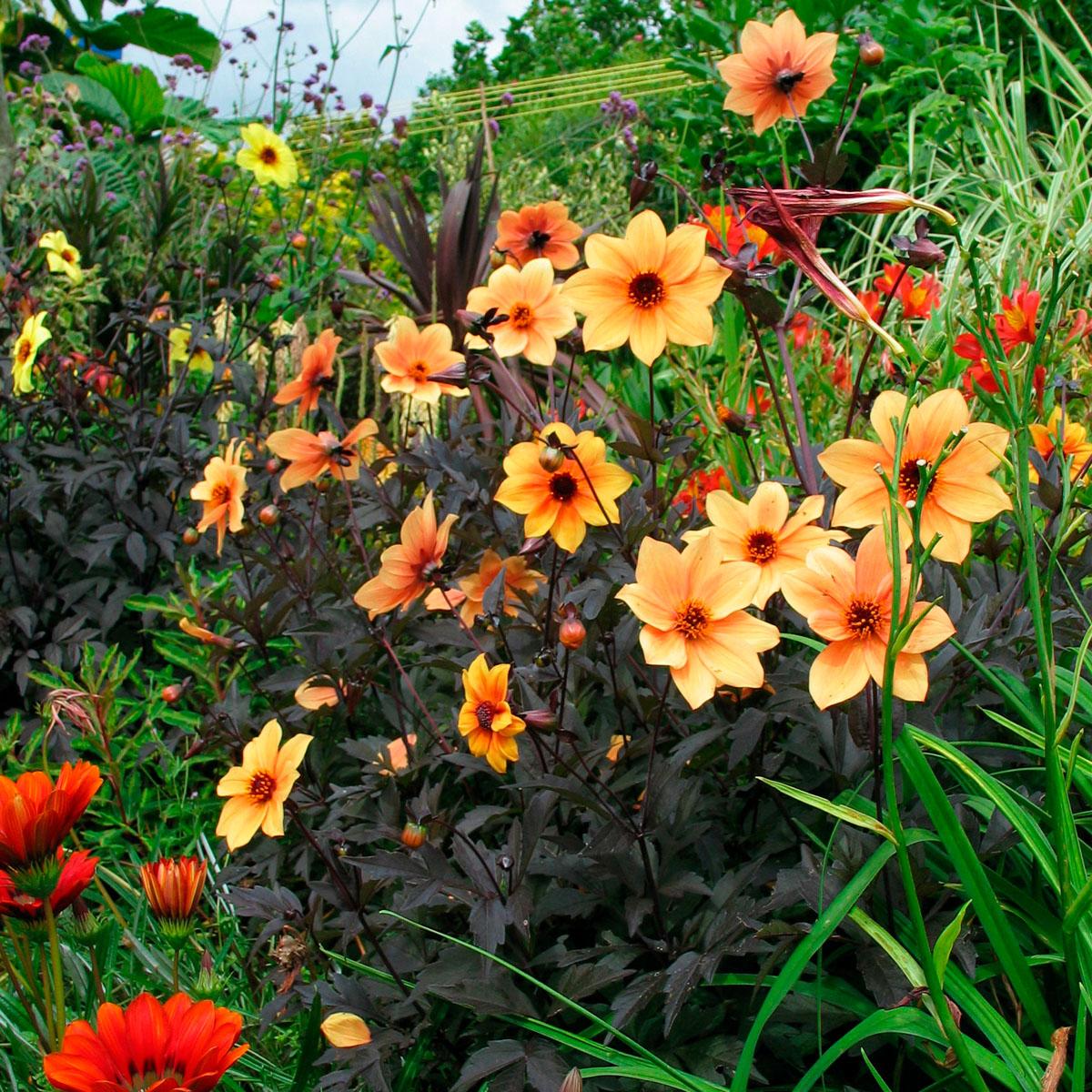 Dahlia - hybrida -