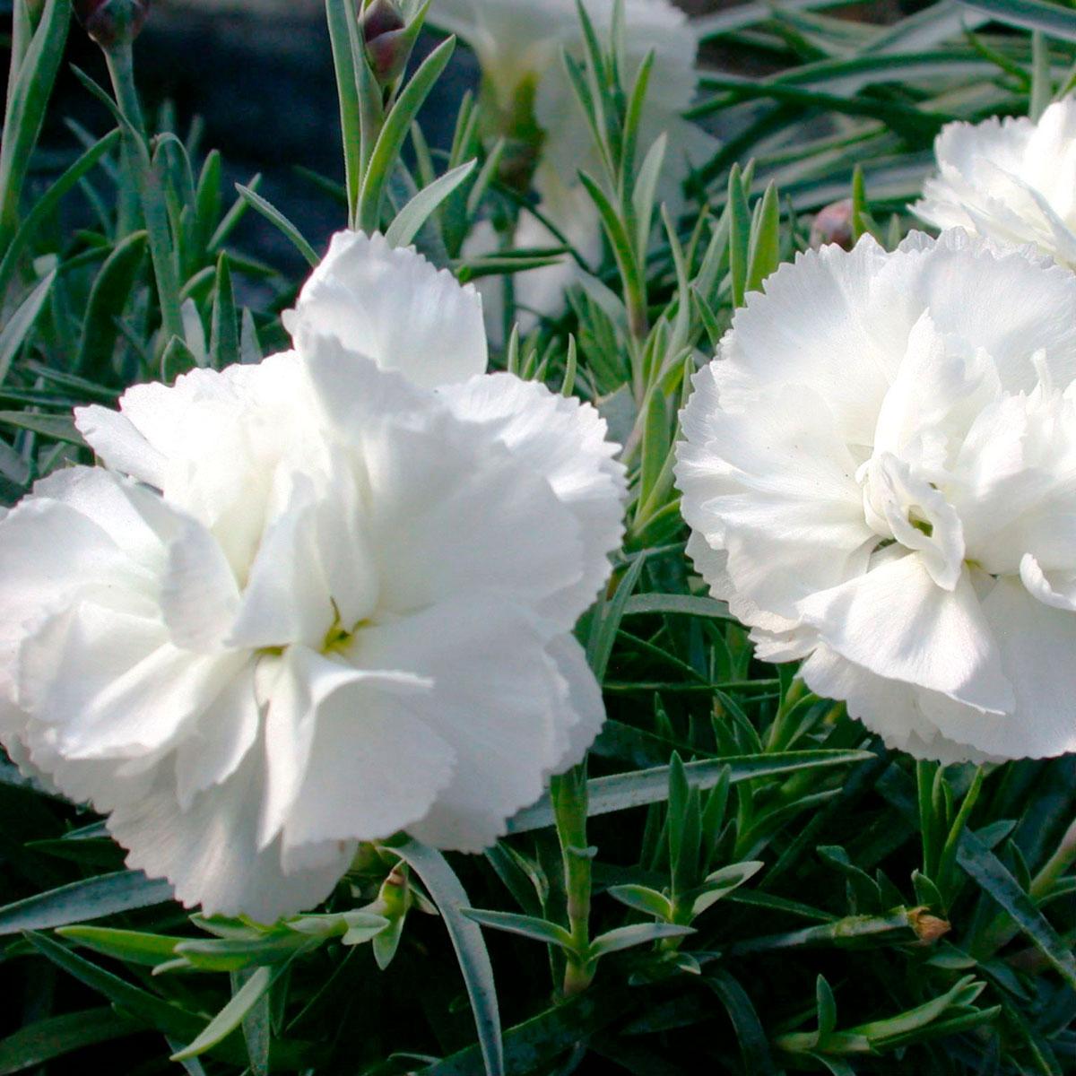 Dianthus - plumarius X -