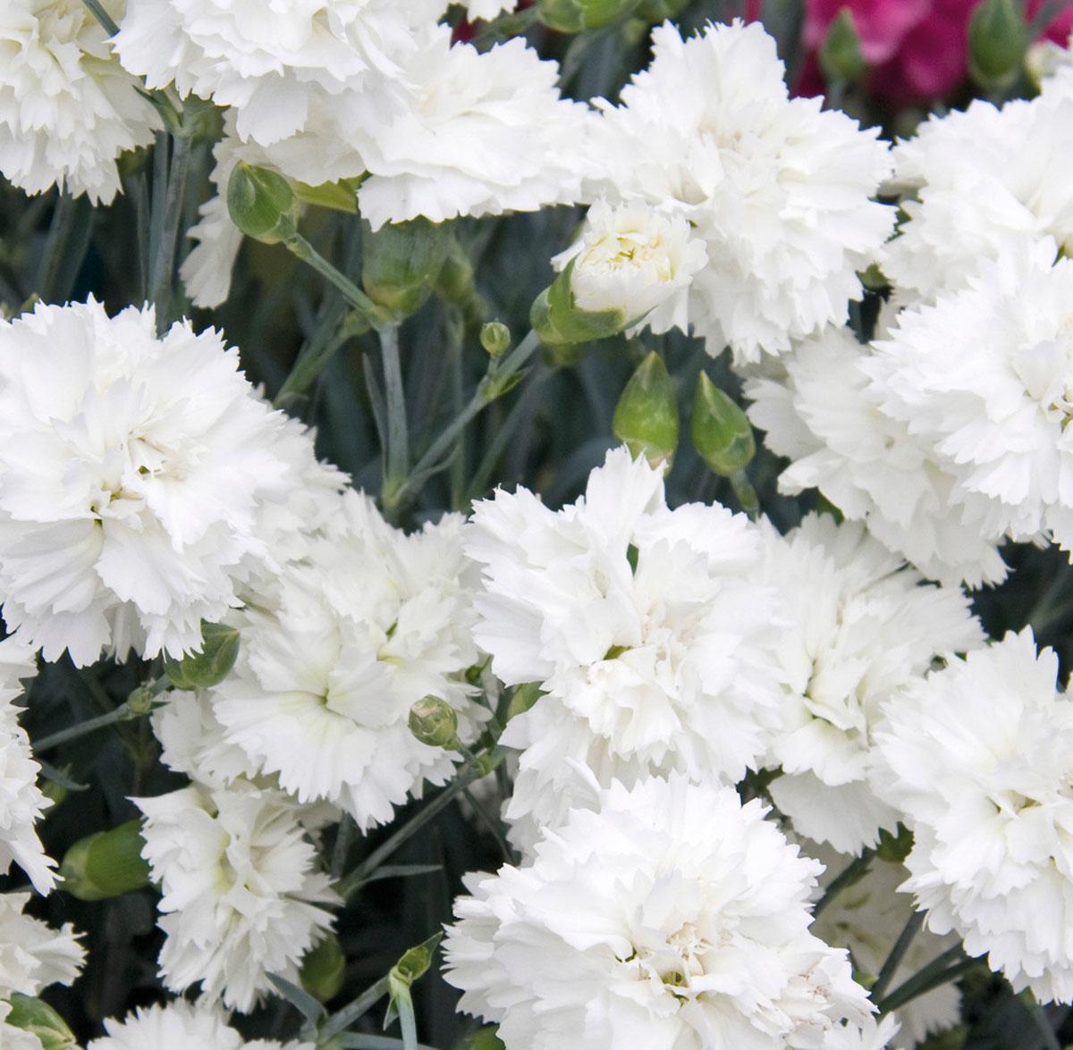 Dianthus - plumarius X - Memories - WP 10 GWE04