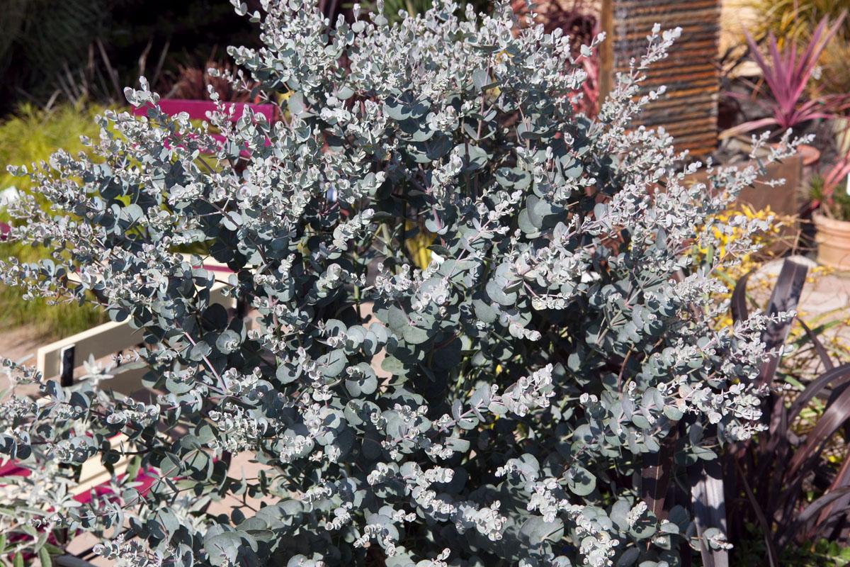 Eucalyptus - gunnii -