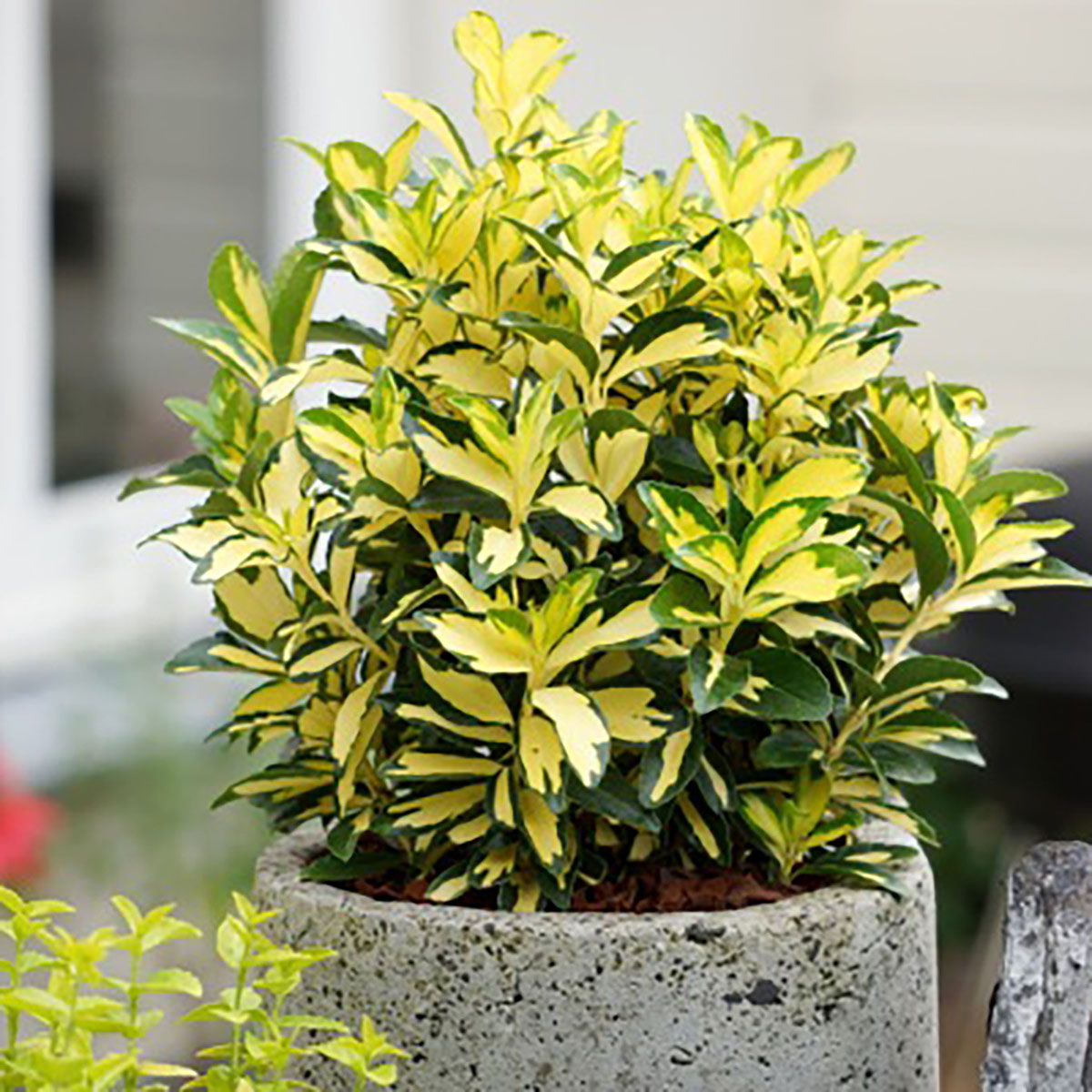 Euonymus - japonicus -