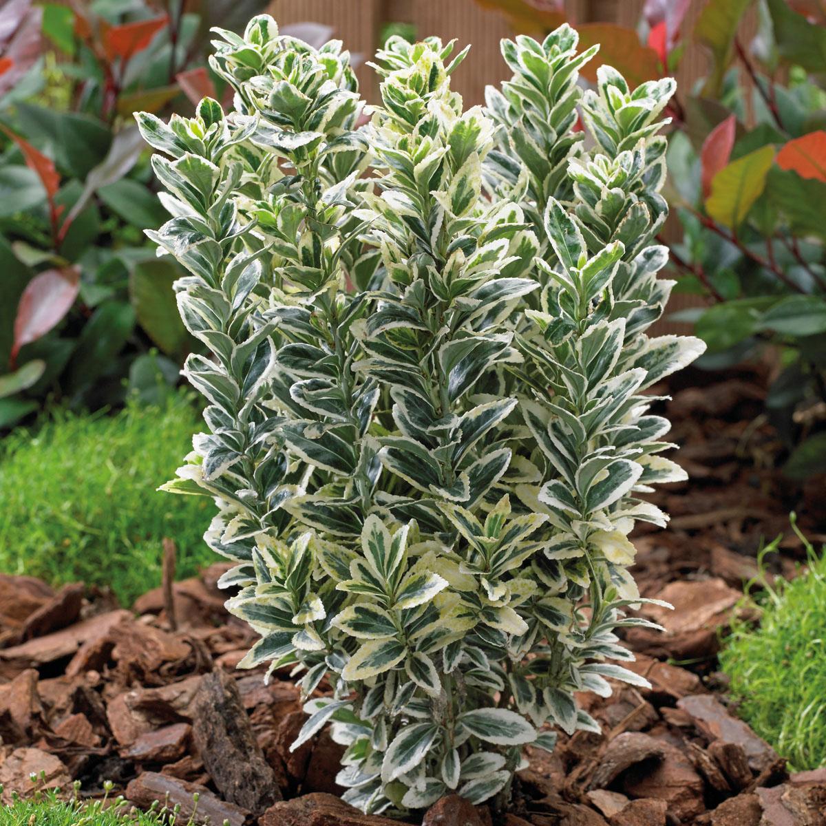 Euonymus - japonicus - White Spire