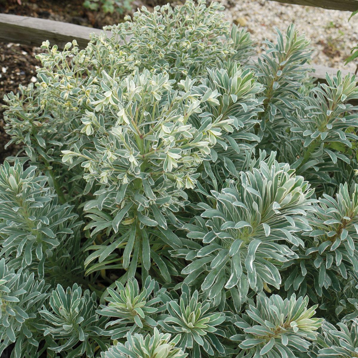 Euphorbia - characias -