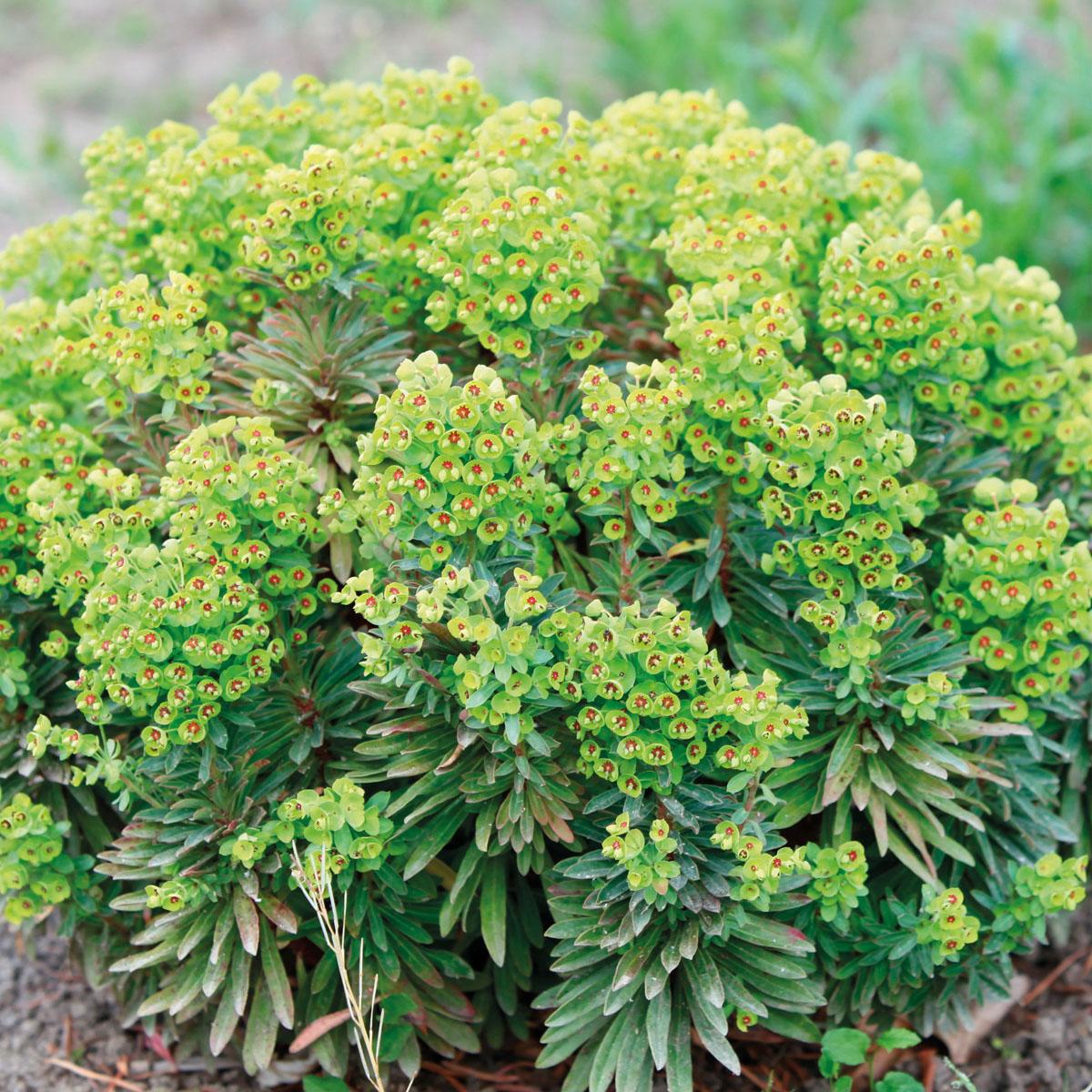 Euphorbia - x martini - Walberton's® Tiny Tim - TM