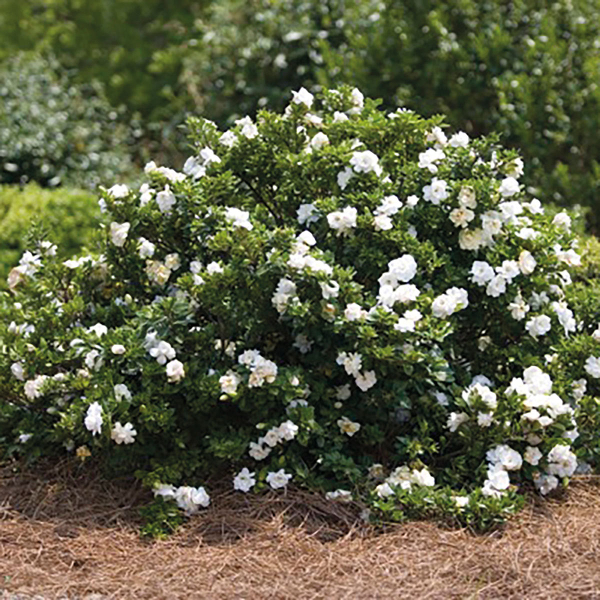 Gardenia - augusta - Crown Jewel