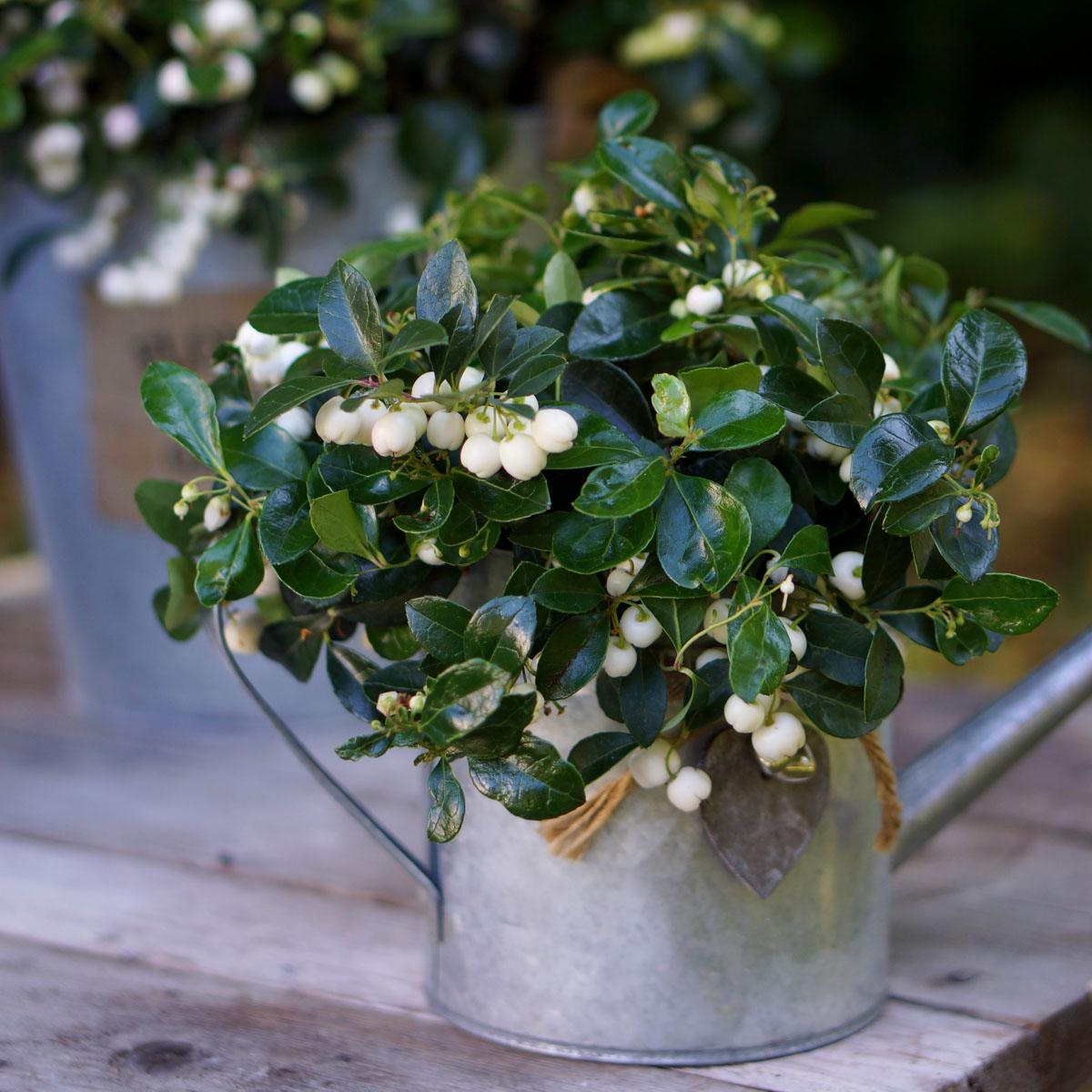 Gaultheria - procumbens -