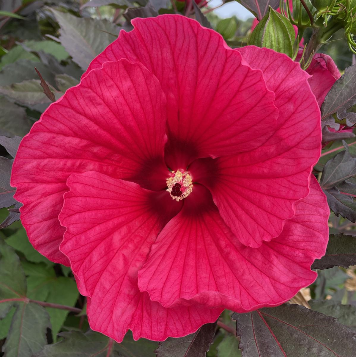 Hibiscus - CAROUSEL® - Pink Passion