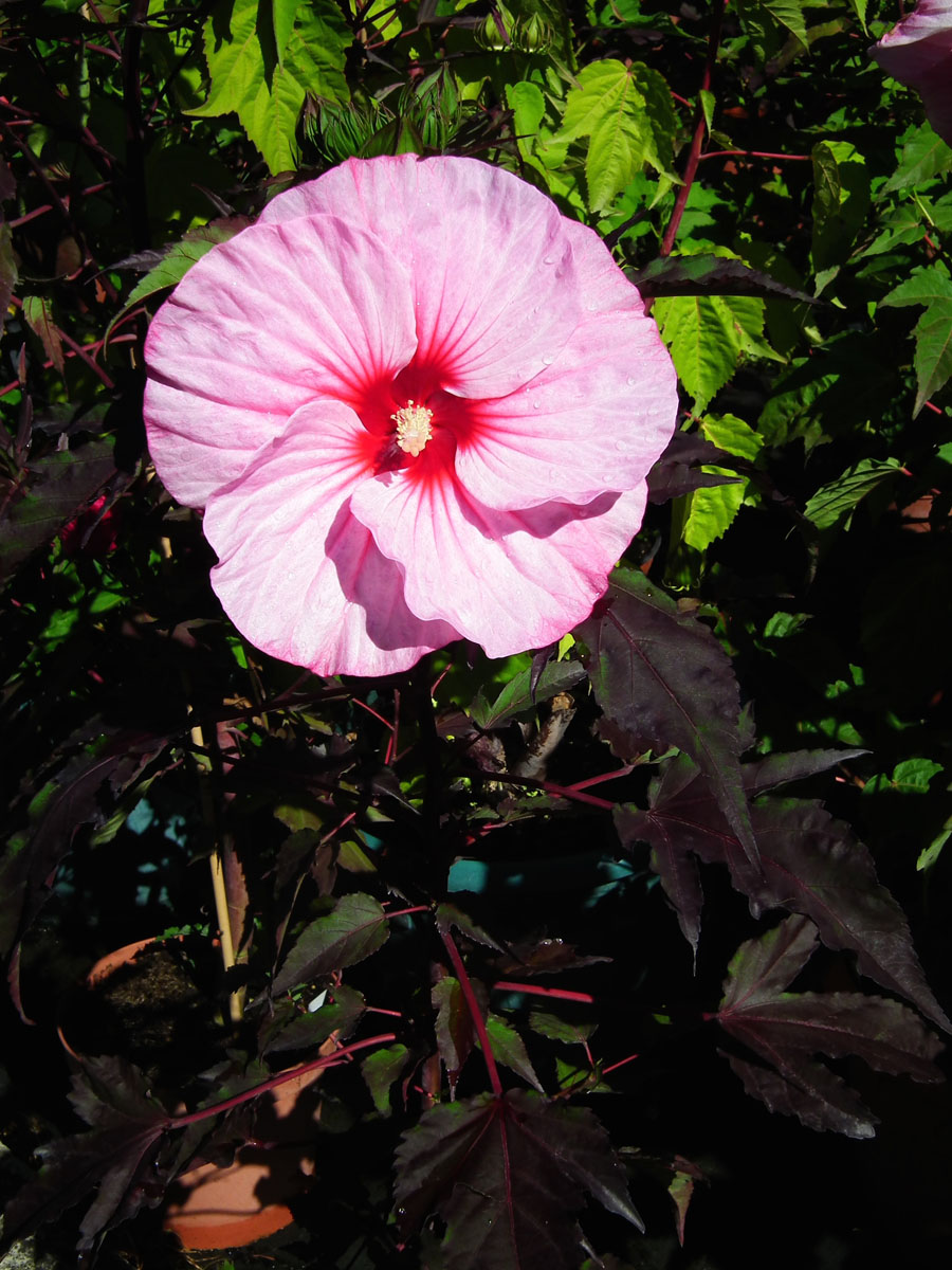 Hibiscus - CARROUSEL® - Pink Candy