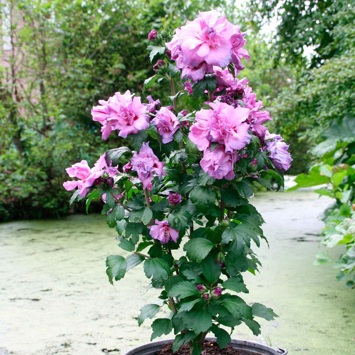 Hibiscus  - syriacus -