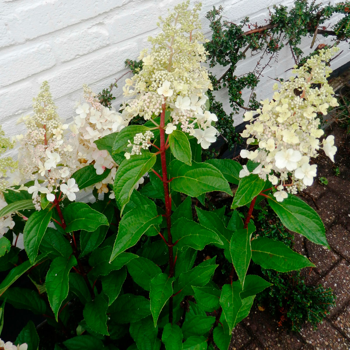 Hydrangea - paniculata -