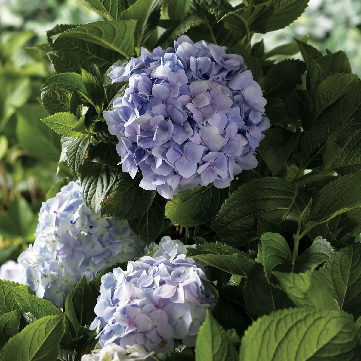 La collection globe planter hortensia grandes feuilles france bleu - Ou planter un hortensia ...